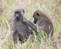 Frontview van een volwassen bavianenzitting in gras met een sideview van een 2de baviaan die zijn linkerschoudergebied verzorgen Stock Foto