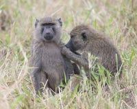 Frontview van een volwassen bavianenzitting in gras met een sideview van een 2de baviaan die zijn linkerschoudergebied verzorgen Stock Afbeeldingen