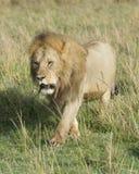 Frontview wielki męski lwa odprowadzenie w kierunku kamery przez trawy Zdjęcie Stock