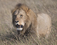Frontview wielki męski lwa odprowadzenie w kierunku kamery przez trawy Zdjęcia Stock