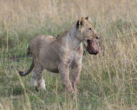 Frontview of young lioness standing in grass with animal head in mouth Stock Image