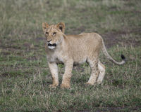 Frontview of young lioness standing in short green grass Royalty Free Stock Photography