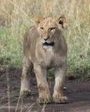Frontview zbliżenie młoda lwicy pozycja na brudzie Obraz Royalty Free