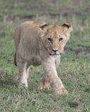 Frontview zbliżenie młody lwicy odprowadzenie w zielonej trawie Obrazy Stock