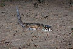 Frosch-äugiger Gecko, Teratoscincus-Scincus, Süd-Kasachstan lizenzfreies stockfoto