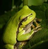 Frosch #01 Lizenzfreies Stockfoto