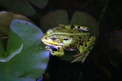 Frosch - Immagini Stock Libere da Diritti