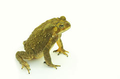 Frosch Lizenzfreies Stockbild