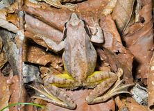 Frosch 17 Stockfoto