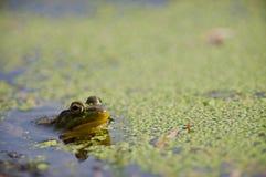 Frosch Stockfoto
