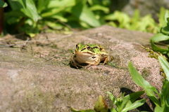 Frosch - 5 Stockfotografie