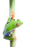Frosch auf Bambus lizenzfreie stockbilder