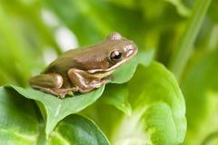 Frosch auf Blättern Lizenzfreie Stockfotos