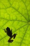 Frosch auf Blatt Lizenzfreie Stockbilder