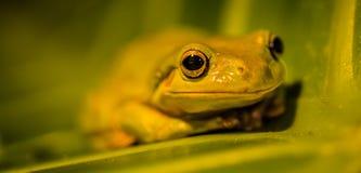 Frosch auf Blatt Stockfoto