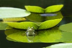 Frosch auf dem Blatt Lizenzfreies Stockfoto