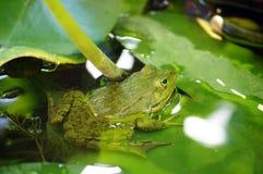 Frosch auf dem Lotosurlaub Lizenzfreie Stockfotografie