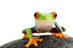 Frosch auf den Felsen Stockbilder