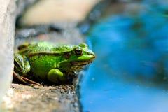 Frosch auf den Felsen nahe einem Teich Stockfoto
