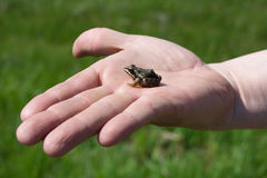 Frosch auf der Hand des Mannes stockfotos