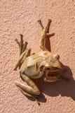 Frosch auf der Wand Lizenzfreie Stockbilder