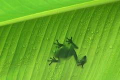 Frosch auf einem Bananenblatt Stockfotografie
