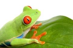 Frosch auf einem Blatt getrennten Weiß Stockfotografie