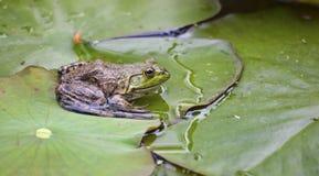 Frosch auf einem lilypad Stockfotos