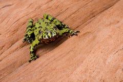 Frosch auf einem Protokoll Stockbilder