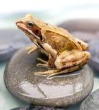 Frosch auf einem Stein Stockbild