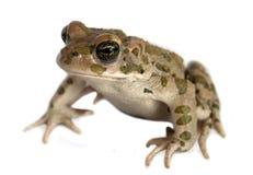 Frosch auf einem Weiß Lizenzfreie Stockfotos
