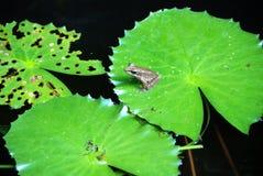 Frosch auf einer Lilienauflage Stockbilder