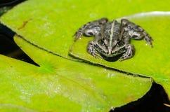 Frosch auf einer Lotosblume Lizenzfreies Stockfoto