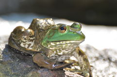 Frosch auf Felsen Lizenzfreie Stockbilder