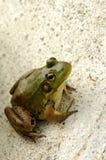 Frosch auf Kleber Lizenzfreie Stockfotos