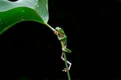 Frosch auf leaf.jpg Lizenzfreie Stockfotos