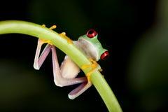 Frosch auf liane stockfotos