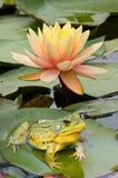 Frosch auf Lilie lizenzfreies stockbild