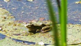 Frosch auf Lilie stock video