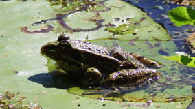 Frosch auf Lilie stock video footage