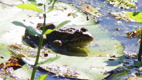Frosch auf Lilie stock footage