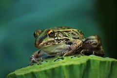 Frosch auf Lotus Stockfotografie
