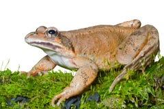 Frosch auf Moos 1 Stockfoto