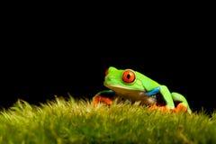 Frosch auf Moos getrenntem Schwarzem Stockfoto