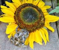 Frosch auf Sonnenblume Lizenzfreie Stockfotos