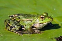 Frosch auf Wasserlilienblatt Stockbilder