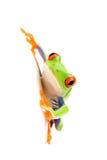 Frosch auf Weiß lizenzfreie stockbilder
