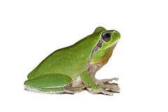 Frosch auf weißem Hintergrund Stockfotografie