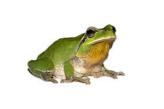 Frosch auf weißem Hintergrund Lizenzfreie Stockfotos