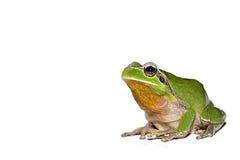 Frosch auf weißem Hintergrund Stockbild